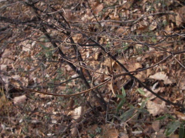 ヤマボウシは,5つの方向に枝を出す.