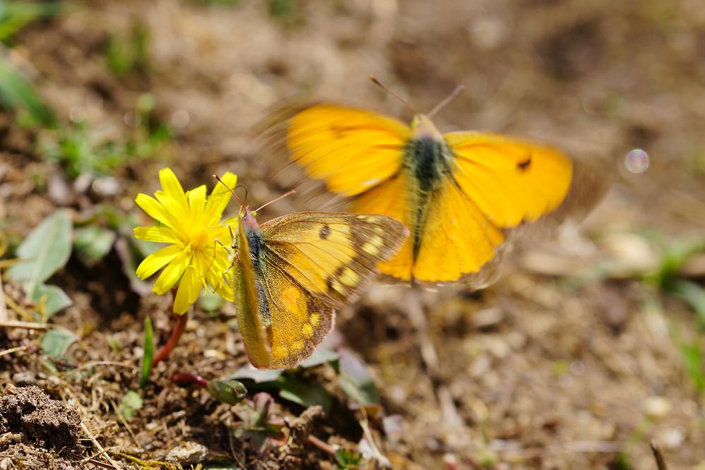 南亞粉蝶 colias fieldii-1