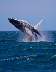 Whale breaching at Jervis Bay