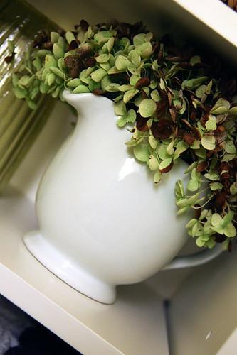 Hydrangea-in-pitcher