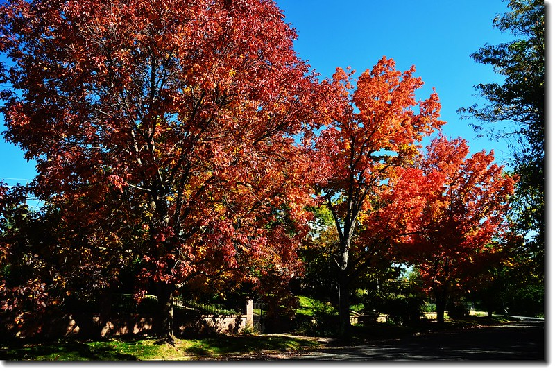 Maple in Fall, Mapleton Hill, Boulder (52)
