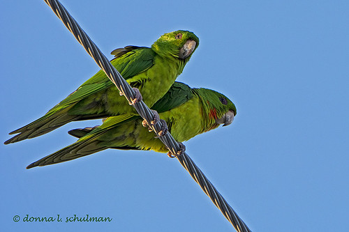 TX: Green Parakeets in Downtown Harlingen