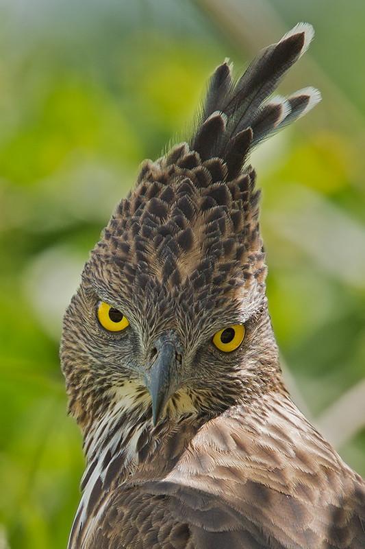 Changeable Hawk Eagle Sri Lanka 2013 2013-11-27 (3)