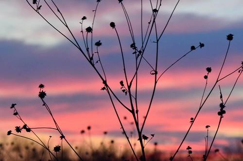 pink sunset seeds sunflower kansas wichita chisholmcreekpark