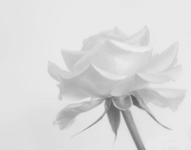 rose-b&W