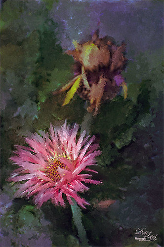 Image of a pink gerbera daisy and a spent daisy and painted in Photoshop