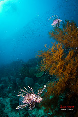Family of lionfish @ Raja Ampat