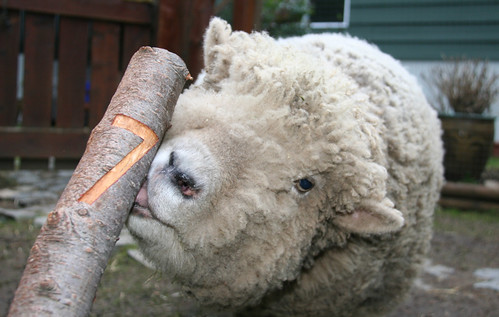Sap Loving Sheep