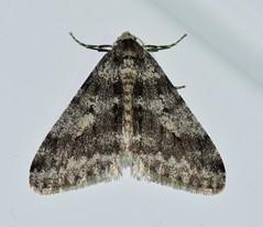Unidentified Phigalia moth species #4