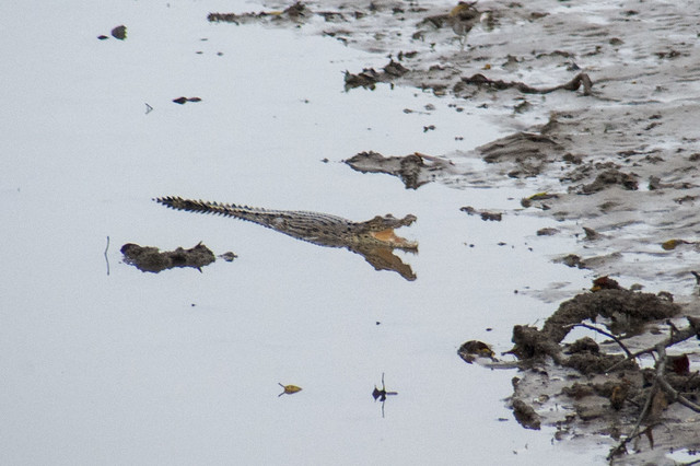 Small Estuarine crocodile (Crocodylus porosus)