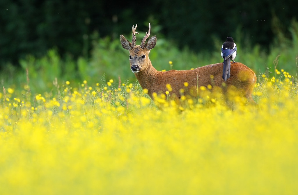 Roe deer and Magpie