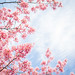 sakura '14 - cherry blossoms #5 (near Kamo-gawa river, Kyoto) by Marser