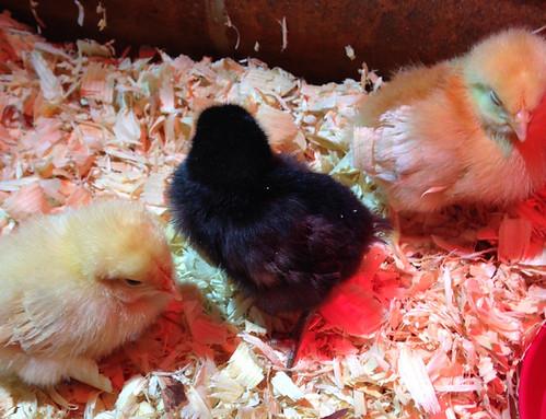 chicks_april 4