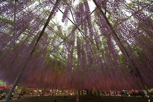 Ashikaga Wisteria festival 20142014 19