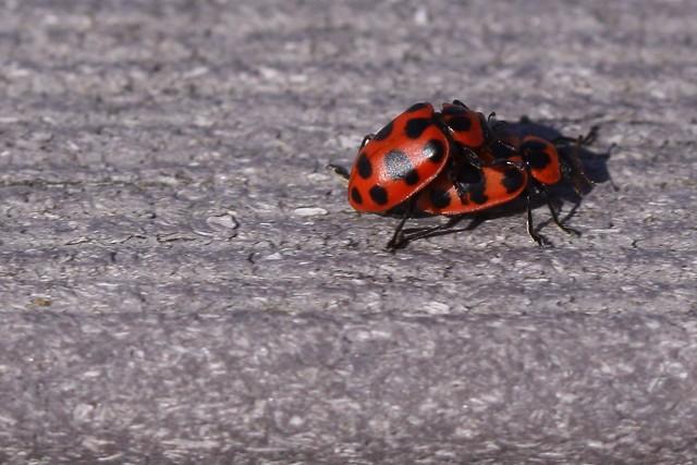 multicolored asian lady beetle (Harmonia axyridis)