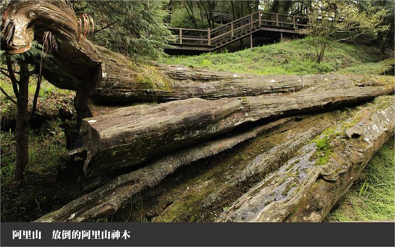 阿里山放倒的神木