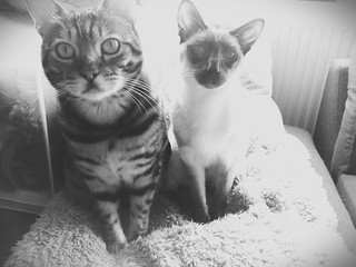 Leo the bengal and Chloe the siamese