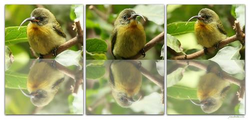 Olive Sunbird Collage