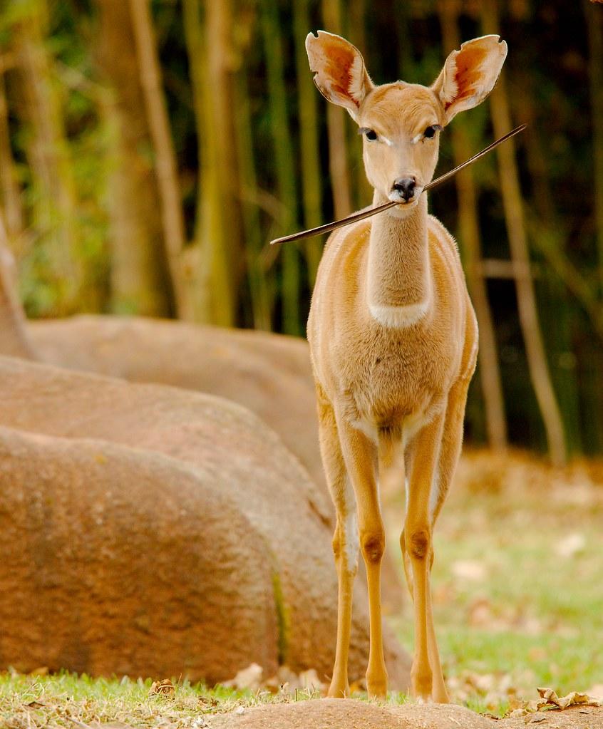 Lesser Kudu (Tragelaphus imberbis)_2
