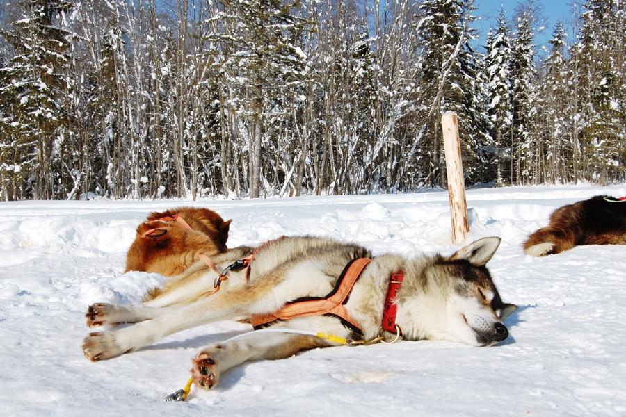 Balade chiens de traineau chiens de traineau (17)