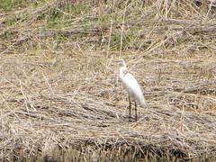 wetland(0.0), grass(0.0), phragmites(0.0), bittern(0.0), animal(1.0), prairie(1.0), fauna(1.0), heron(1.0), marsh(1.0), bird(1.0), wildlife(1.0), egret(1.0),