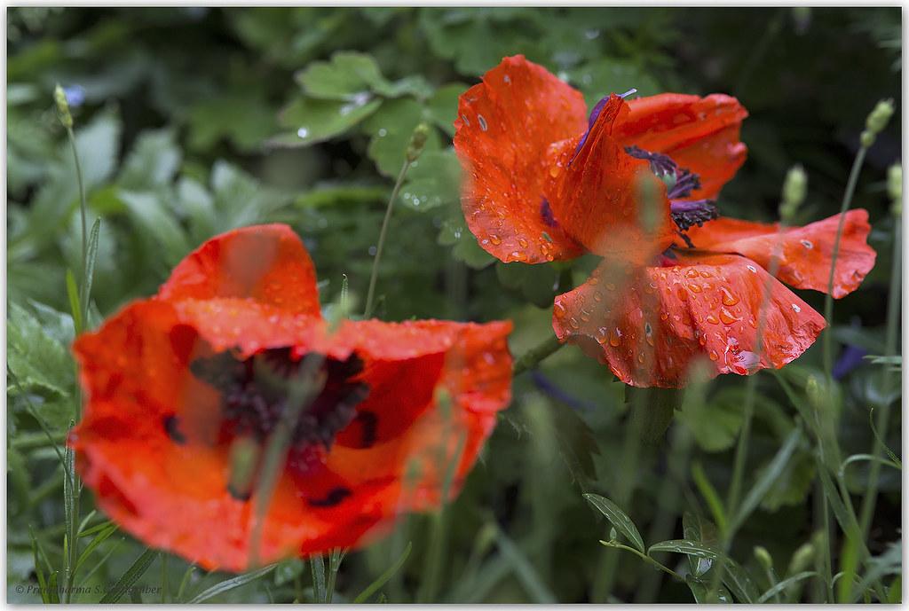 Mohnblume im Regen