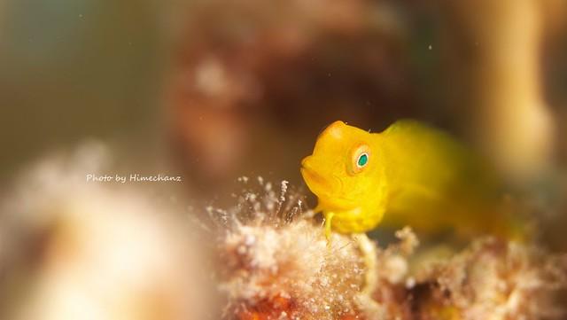 インドカエルウオ幼魚♪