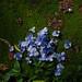 hydrangea by rampx