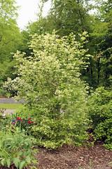 Staphyleaceae - Pimpernoot