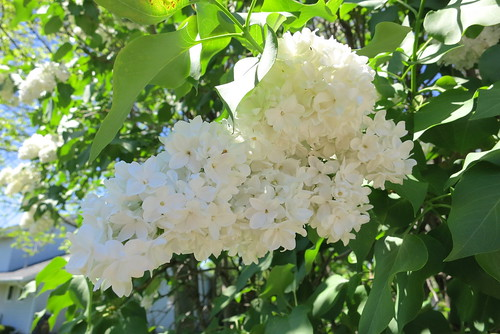 Double White Lilac