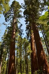 Big Trees 02