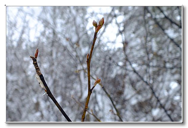 クロモジの冬芽.枝はしなやかに曲がり,雪の重みでも折れにくいことを聞いた.
