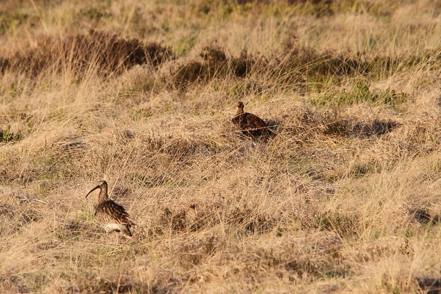 Curlew and Red Grouse