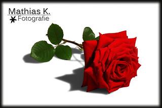 Rote Rose ♥