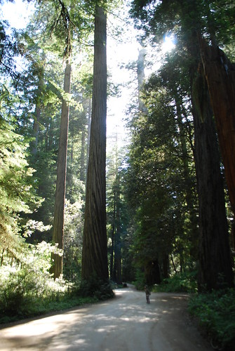 Ivy and the Redwoods
