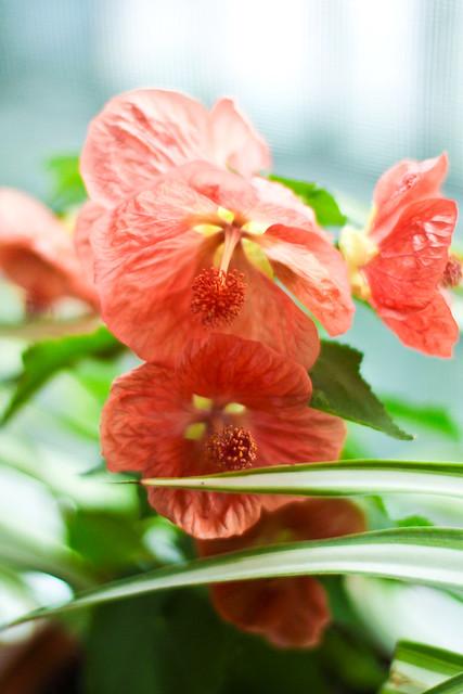 Érable en fleurs