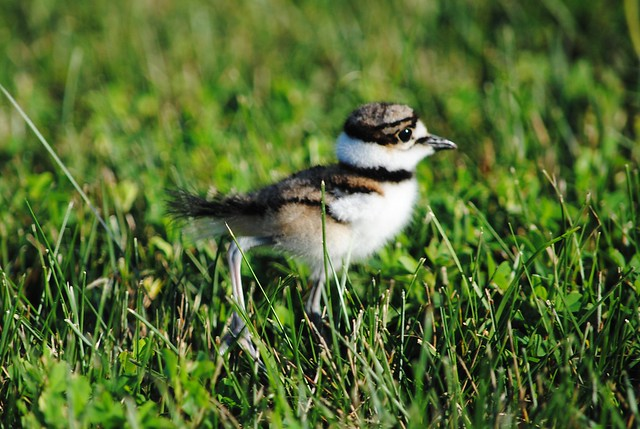 Крикливый Зуек (Killdeer)