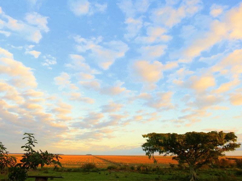 Figueira com vista de plantação do arroz mostardeiro.