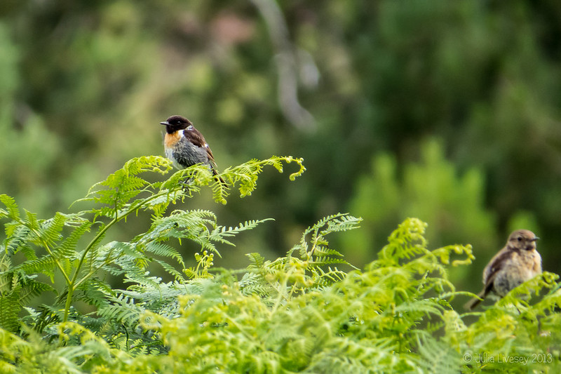 The stonechats were a chatting today