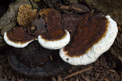 medicinal mushroom, mushroom, agaricaceae, fungus, lingzhi mushroom, edible mushroom,
