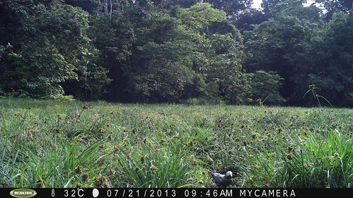 camera trap photo of grey parrot