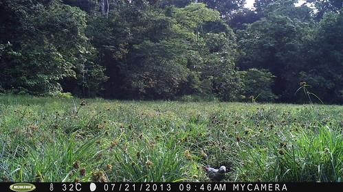 camera trap photo of grey parrot