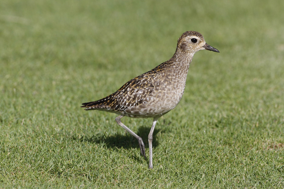 100513_06_list_pacificGoldenPlover02