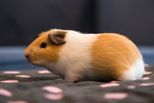 Latte the Guinea Pig