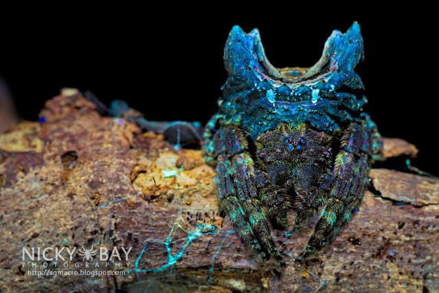 Big-Headed Bark Spider (Caerostris sp.) - DSC_3828