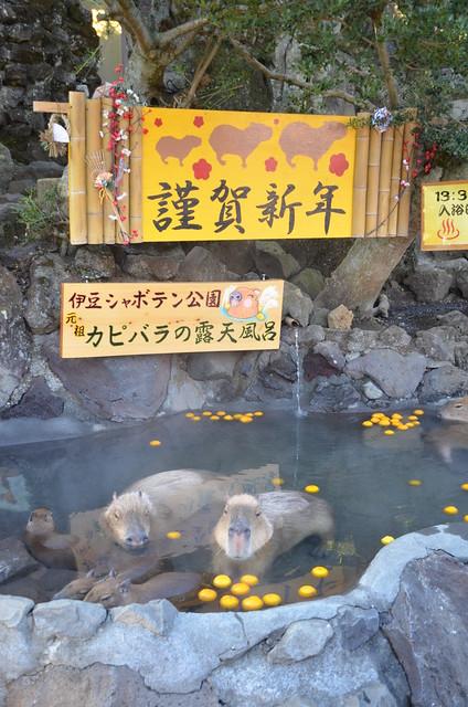 冬の青春18きっぷの旅 伊豆シャボテン公園のカピバラ一家