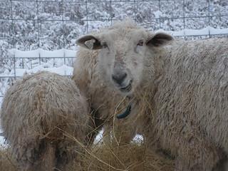 lovey eats hay