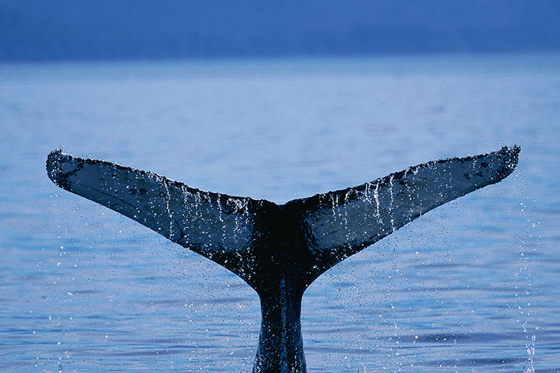 Humpback Whale Tail: Whale Watching, Vancouver Island, British Columbia, Canada