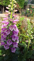 Pretty foxglove. Digitalis pururea.Medicines are extracted from digitalis such as digoxin and digitalin. A beautiful garden plant.