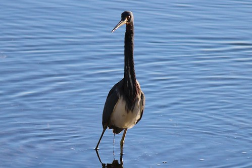 IMG_3754_Tricolored_Heron